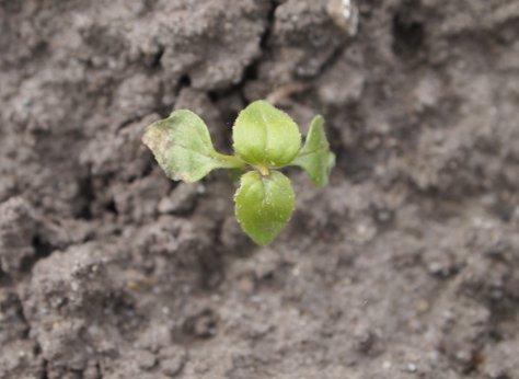 Siewka żółtlicy (Galinsoga sp.) 4 dni po oprysku glifosatem