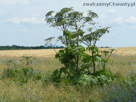 Barszcz Sosnowskiego (Heracleum sosnowskyi) kwitnący egzemplarz