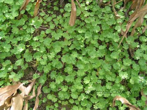 bodziszek drobny (Geranium pusillum) kompensacja na polu kukurydzy