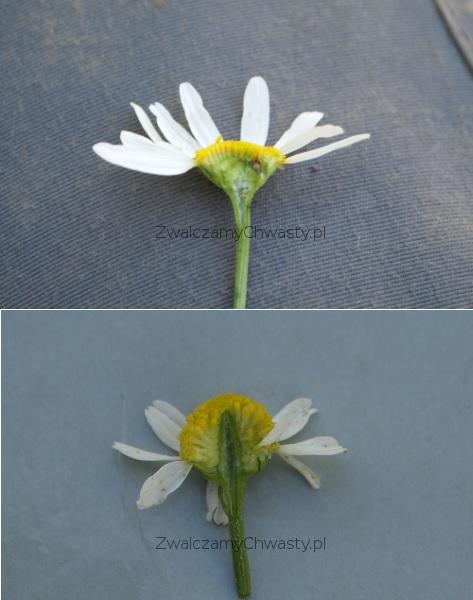 Różnice w budowie kwiatostanów maruny bezwonnej i rumianku pospolitego
