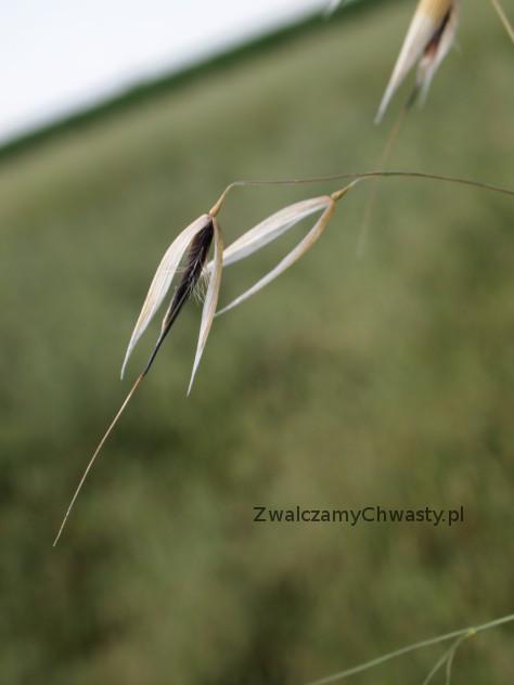 owies głuchy (Avena fatua) - ziarniaki