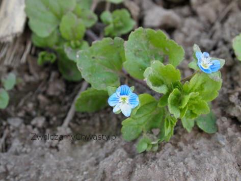 Przetacznik perski etap kwitnienia.