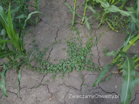 Rdestówka powojowata (rdest powojowy lub powojowaty) zachwszczająca plantacje kukurydzy.