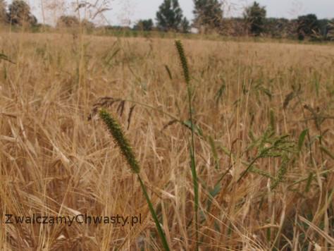 włośnica sina (Setaria pumila, Setaria glauca) etap kwitnienia, wytwarzania nasion