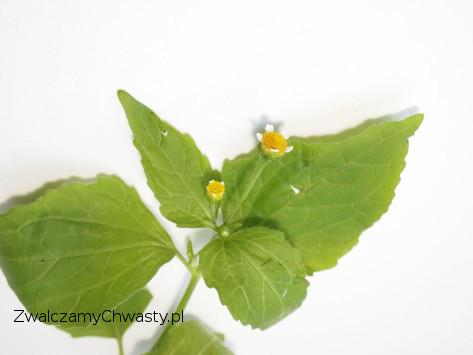 Kwitnący egzemplarz żółtlicy drobnokwiatowej (Galinsoga parviflora).