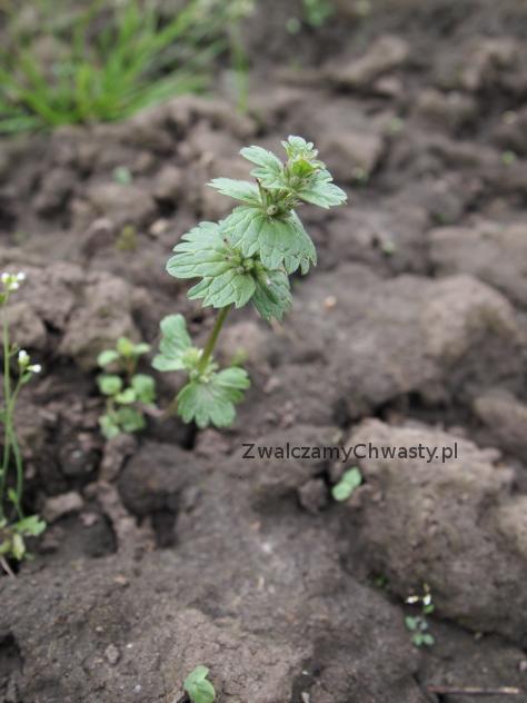 Jasnota różowa (Lamium amplexicaule) początek kwitnienia.