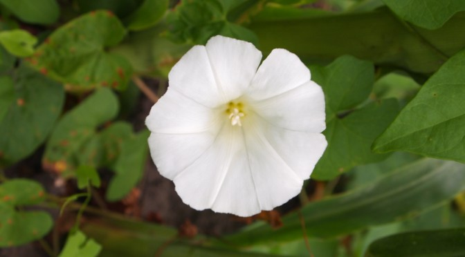 Kielisznik zaroślowy kwiat