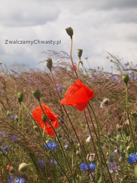 Mak polny (Papaver rhoeas), kwitnienie, dojrzewanie nasion.