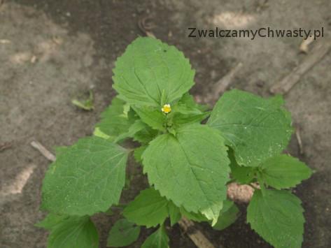 żółtlica owłosiona (Galinsoga ciliata) - pełnia kwitnienia