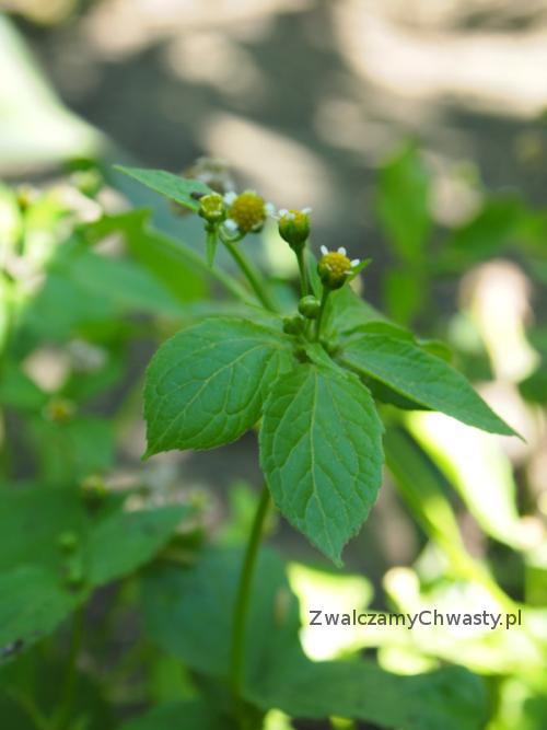 żółtlica drobnokwiatowa - kwitnący egzemplarz