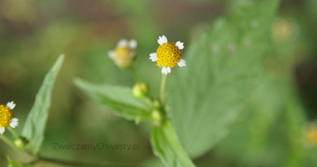 żółtlica drobnokwiatowa - kwiatostan